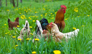Pasture raised hens